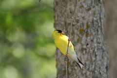 American Goldfinch Perched on Branch. A male American goldfinch perched on a thin tree branch in Northome, MN Stock Photography
