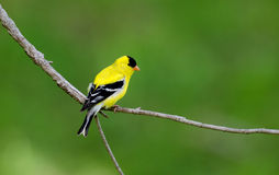 American goldfinch perched on branch Stock Image
