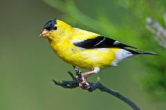 American Goldfinch. Perched on a branch Stock Image