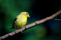 American Goldfinch Perched on a Branch Royalty Free Stock Photos