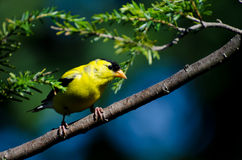 American Goldfinch Perched on a Branch Royalty Free Stock Image