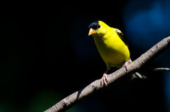 American Goldfinch Perched on a Branch Royalty Free Stock Photography