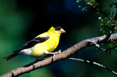 American Goldfinch Perched on a Branch Royalty Free Stock Images