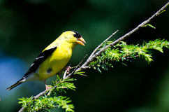 American Goldfinch Perched on a Branch Stock Image