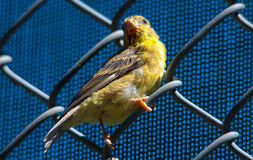 American Goldfinch perched on fence Stock Photo