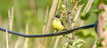 American Goldfinch. Perched on a fence cable at El Polin Spring in the Presidio of San Francisco Stock Image