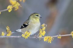 American Goldfinch perched in a flowering Witch Hazel shrub royalty free stock photo