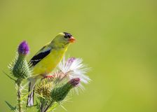 An American Goldfinch perched on a purple flower in summer royalty free stock photos
