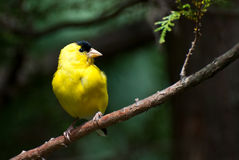 American Goldfinch Perched in a Tree Royalty Free Stock Photo