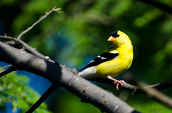 American Goldfinch Perched in a Tree Stock Images