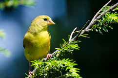 American Goldfinch Perched in a Tree Royalty Free Stock Images