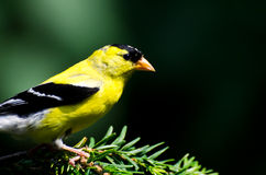 American Goldfinch Profile Stock Photos