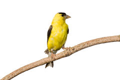American goldfinch profiles his yellow plumage. While at rest on a branch. white background stock photos
