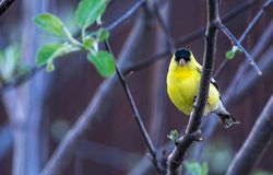 American Goldfinch sitting in an Apple Tree in a Back Yard royalty free stock photos