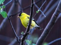 American Goldfinch sitting in an Apple Tree in a Back Yard stock images