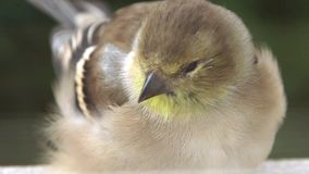 American Goldfinch sitting on window sill stock video footage