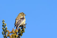 American goldfinch and sky Royalty Free Stock Photography