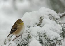 American Goldfinch in Snow Storm. American Goldfinch (Carduelis tristis) perched on a snow covered Evergreen during a snow storm in winter stock image