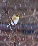 American Goldfinch in snow storm Stock Photo