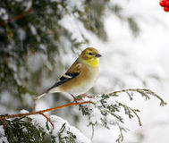 American goldfinch in a snowstorm. Stock Photography