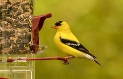 American Goldfinch(Spinus tristas) Royalty Free Stock Images