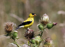 American Goldfinch (spinus tristis) Royalty Free Stock Photo