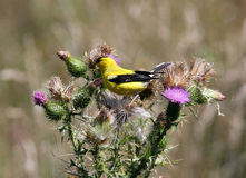 American Goldfinch (Spinus tristis). A male American Goldfinch in breeding plumage perching on pink thistle   flowers during nesting period late summer.This Royalty Free Stock Photo