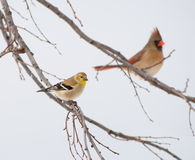 American Goldfinch, Spinus tristis Stock Images