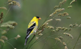 American Goldfinch Spinus Tristis Royalty Free Stock Photo