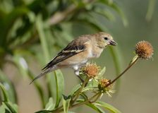 American goldfinch or Spinus tristis. American goldfinch bird or Spinus tristis perched on dried autumn flowers to eat last seeds of season royalty free stock images