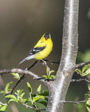 American goldfinch (Spinus tristis) Stock Photography