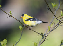 American goldfinch (Spinus tristis) Stock Photos