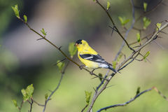American goldfinch (Spinus tristis) Royalty Free Stock Photography