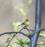 American goldfinch (Spinus tristis) Royalty Free Stock Image