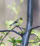 American goldfinch (Spinus tristis) Royalty Free Stock Images