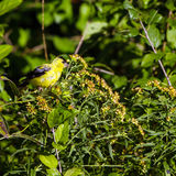 American Goldfinch, Spinus tristis Stock Photos