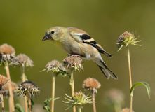 American goldfinch or Spinus tristis. Perched on dried autumn flowers to eat last seeds of season royalty free stock photos
