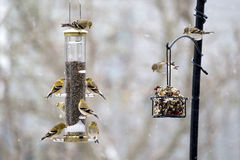 American Goldfinch Spinus tristis Stock Image