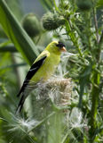 American goldfinch. An american goldfinch standing on a thistle stem holding a thistledown in his beak Royalty Free Stock Photo