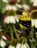 American Goldfinch in summer Royalty Free Stock Images