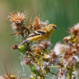 American Goldfinch on thistle plant Stock Photos