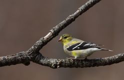 Molting American goldfinch royalty free stock images