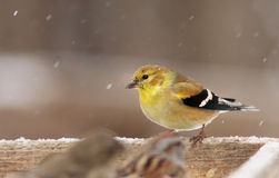 American Goldfinch in winter Royalty Free Stock Images