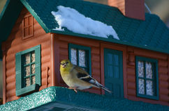 American Goldfinch Winter Cameo stock photography