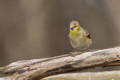 American Goldfinch in winter Stock Images