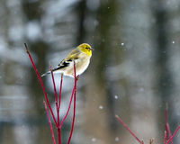 American goldfinch in winter. American goldfinch looking out contemplatively, perched on red twig dogwood in the snow stock photo
