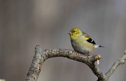 American Goldfinch stock photography