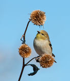 American Goldfinch in winter plumage Royalty Free Stock Photos
