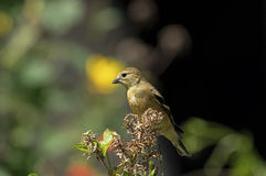 American Goldfinch in winter plumage Royalty Free Stock Photo