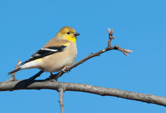 American Goldfinch in winter plumage in an Oak tree Stock Images
